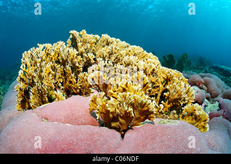 Branching fire coral (Millepora alcicornis), yellow, nettling, unknown pink pillow coral, Little Tobago, Speyside - Stock Photo