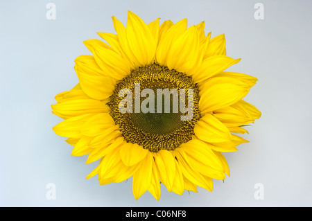 Sunflower (Helianthus annuus). Flower head. Studio picture against a white background. - Stock Photo