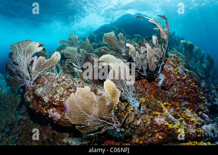 Coral reef with strong waves and currents, Venus sea fan (Gorgonia flabellum), Little Tobago, Speyside, Trinidad - Stock Photo