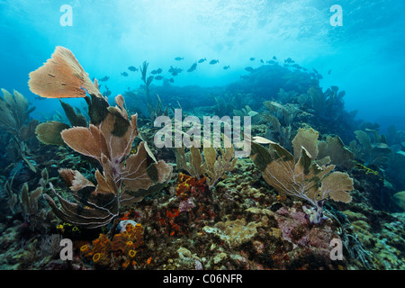 Coral reef in strong waves and currents, Venus sea fan (Gorgonia flabellum), shoal of fish, Bermuda-rudder fish - Stock Photo
