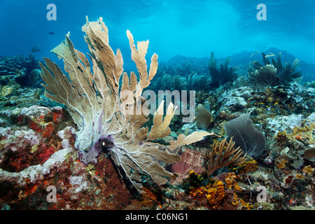 Coral reef in strong waves and currents, Venus sea fan (Gorgonia flabellum), Little Tobago, Speyside, Trinidad and - Stock Photo