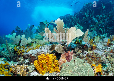 Coral reef in strong waves and currents, Venus sea fan (Gorgonia flabellum), Yello tube sponge, (Aplysina fistularis) - Stock Photo