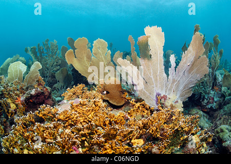 Coral reef, Venus sea fans (Gorgonia flabellum), Branched fire coral (Millepora alcicornis), yellow, Little Tobago, - Stock Photo