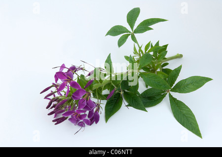 Spider Plant, Spider Flower (Cleome spinosa), flowering stalk. Studio picture against a white background. - Stock Photo
