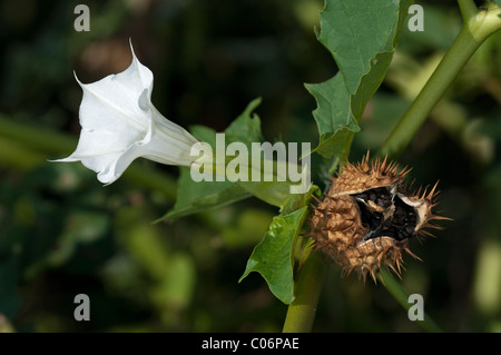 Thorn Apple (Datura stramonium). Twig with flower and ripe, open fruit releasing seeds. - Stock Photo