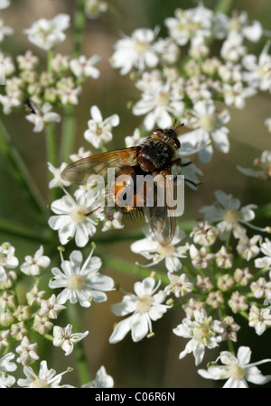 Tachinid Fly, Tachina fera, Tachininae, Tachinidae, Diptera Aka Louse Fly, Fever Fly, Tachnid Fly on Umbellifer. - Stock Photo