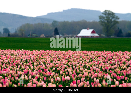 Show garden of spring-flowering tulip bulbs in Skagit Valley Stock ...