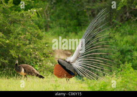 Peafowls, a male peacock displaying in front of a female, Yala National Park Sri Lanka - Stock Photo