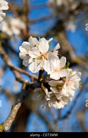 Almond tree flowers blossoming in springtime Mallorca Majorca Balearic Spain Europe - Stock Photo
