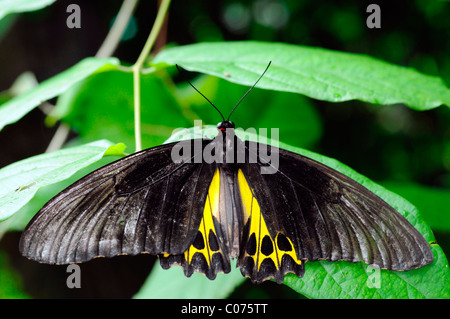 Common Birdwing Troides helena butterfly butterflies tropical subtropical insect wildlife nature kuala lumpur KL - Stock Photo