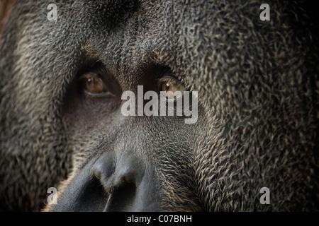 Close up of Male Orangutan - Stock Photo
