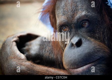Young orangutan - Stock Photo