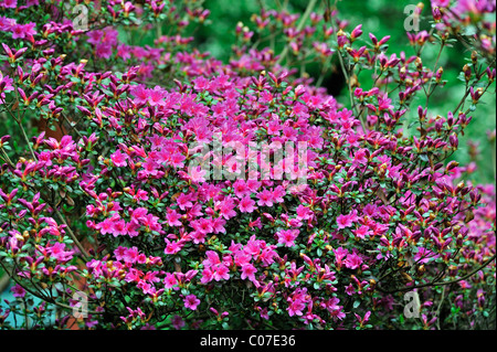 Flowering Kurume azalea (Rhododendron obtusum), Asia - Stock Photo