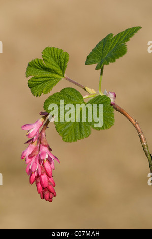 Flowering currant, Red-flowering currant (Ribes sanguineum) - Stock Photo