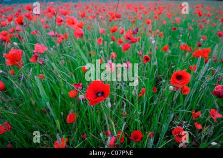 Red poppies growing grow wild in a corn wheat field wilfdlower meadow field