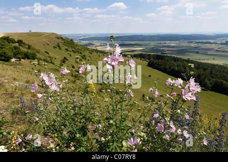 Greater musk-mallow, Cut-leaved mallow (Malva alcea), Hesselberg mountain, Middle Franconia, Franconia, Bavaria, - Stock Photo