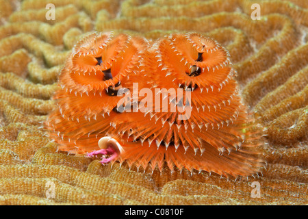 Christmas Tree Worm (Spirobranchus giganteus) on brain coral, Saint Lucia, St. Lucia Island, Windward Islands, Lesser - Stock Photo