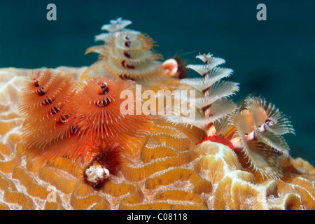 Christmas Tree Worm (Spirobranchus giganteus) on stony coral, Saint Lucia, St. Lucia Island, Windward Islands, Lesser - Stock Photo