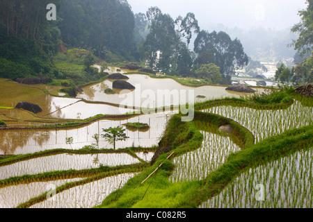 Terraced rice paddies, Batutumonga, Toraja Land, Sulawesi, Indonesia, Asia - Stock Photo