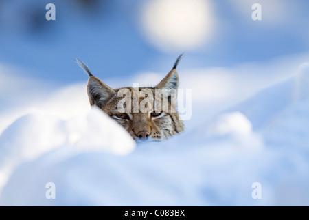 European lynx (Felis lynx, Lynx lynx) in the snow, Bavarian Forest National Park, Bavaria, Germany, Europe - Stock Photo
