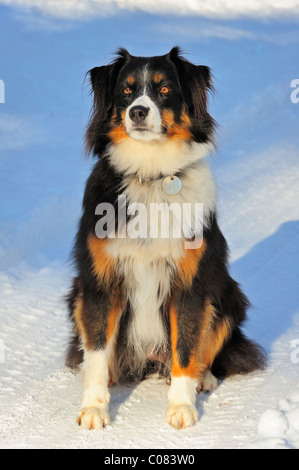 Portrait of a crossbreed dog (cross between a Border Collie and the Swiss Appenzell breed) sitting in the snow. - Stock Photo
