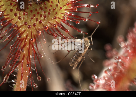 Remains of a Mosquito fly caught on a round leaved sundew, Drosera rotundifolia, Winfrith Nature Reserve Dorset, UK.
