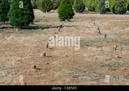 Tree Stumps - Christmas Tree Farm - Stock Photo