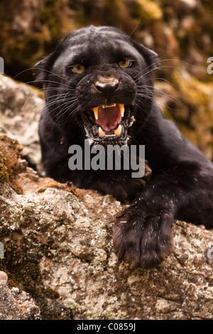 Black panther snarling, Montana, USA - Stock Photo