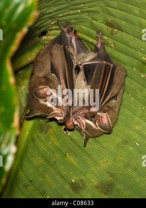 Common tent-making bat roosting under a palm leaf, Costa Rica - Stock Photo