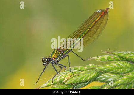 Banded demoiselle (Calopteryx splendens), female - Stock Photo