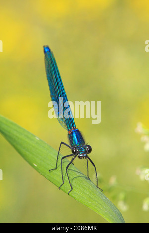 Banded demoiselle (Calopteryx splendens), male - Stock Photo