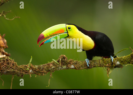 Keel-billed toucan, in full breeding plumage, Laguana del Lagarto, Costa Rica - Stock Photo
