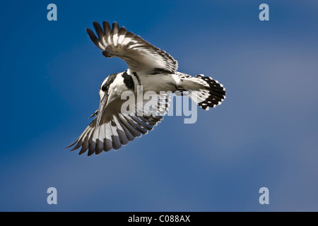 Pied Kingfisher, Masai Mara, Kenya - Stock Photo