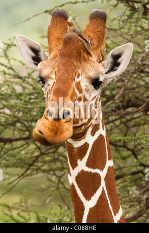 Reticulated Giraffe, Masai Mara Game Reserve, Kenya - Stock Photo