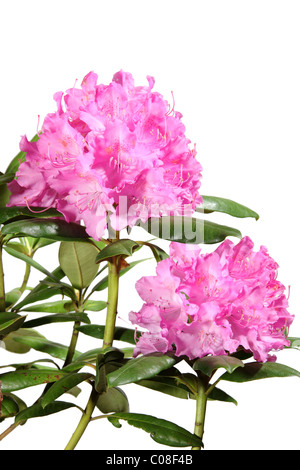 Rhododendron flowers isolated on white background - Stock Photo