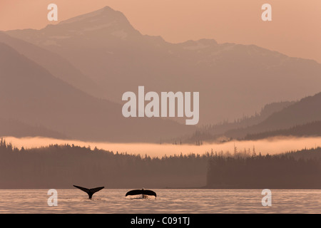 Humpback whales dive showing their tails at sunrise in Frederick Sound, Inside Passage, Coastal Range, Alaska. Composite - Stock Photo