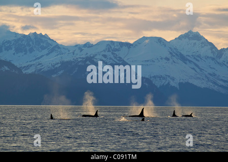 A group of Orca surface in  Lynn Canal with the Chilkat Mountains in the background, Inside Passage, Southeast Alaska. - Stock Photo