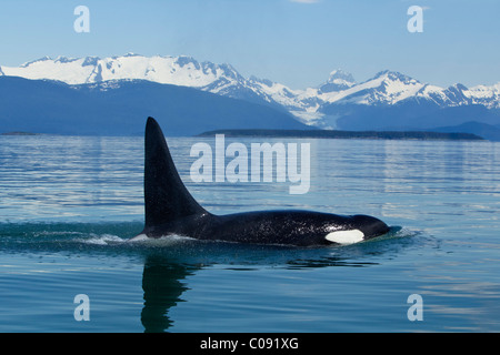 Adult male Orca Whale surfaces in the calm waters of Lynn Canal, Inside Passage, Tongass National Foest, Alaska - Stock Photo