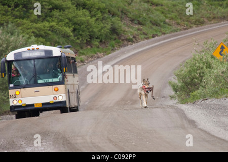 Wolf from the Grant Creek pack carries a caribou hind leg  on the park road near Little Stony Creek in Denali National - Stock Photo