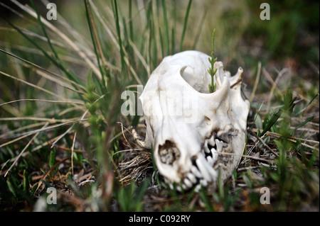 Close up of a wolf skull along Katak Creek, Brooks Range, ANWR, Arctic Alaska, Summer - Stock Photo