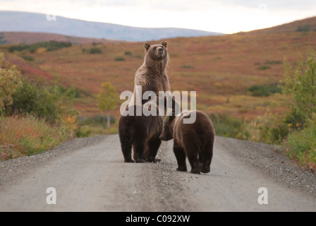 An alert Grizzly sow stands on her hind feet with cubs while on the park road near Wonder Lake in Denali National - Stock Photo