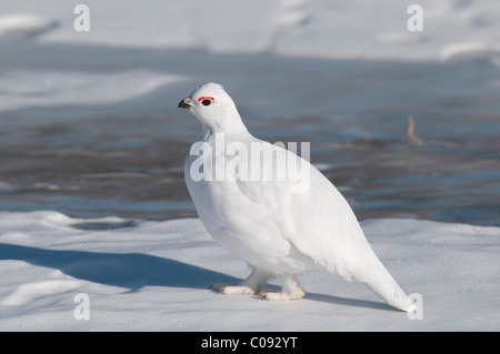 Male Willow Ptarmigan in white winter plumage walks on the frozen Savage River in Denali National Park and Preserve, - Stock Photo