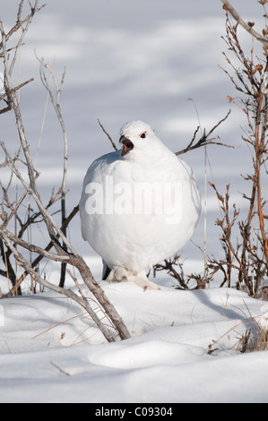 Adult male Willow Ptarmigan in white winter plumage vocalizes with open beak near Savage River in Denali National - Stock Photo