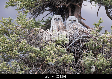 Two Great Horned Owl chicks nest in a spruce tree near Sanctuary River Campground, Denali National Park and Preserve, - Stock Photo