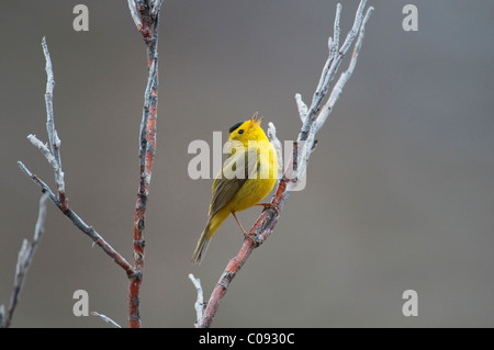 Male Wilson's Warbler sings while sitting on a willow shrub near Savage River in Denali National Park anbd Preserve, - Stock Photo