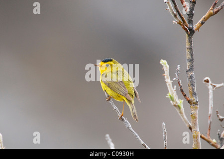 Male Wilson's Warbler perches on willow shrub near Savage River in Denali National Park and Preserve, Interior Alaska, - Stock Photo