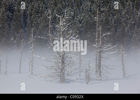 View of hoarfrosted saltwater-killed trees on a foggy morning along the Seward Highway near Portage, Southcentral - Stock Photo