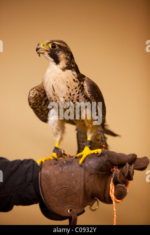 Indoor portrait of a Peregrine Falcon perched on its handlers gloved hand   at Bird TLC in Anchorage, CAPTIVE - Stock Photo