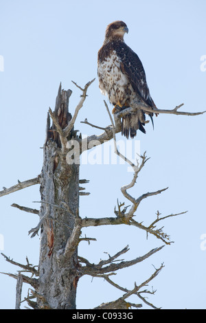 An immature Bald eagle perches in a dead saltwater-killed tree near Portage, Southcentral Alaska, Spring - Stock Photo