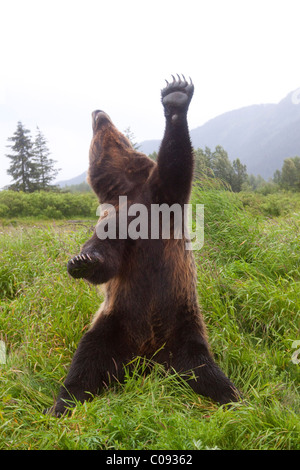 Male Brown bear stands upright with one paw and head stretched skyward, Alaska. Captive - Stock Photo